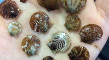 picture of young scallops