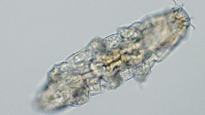 picture of a tardigrade