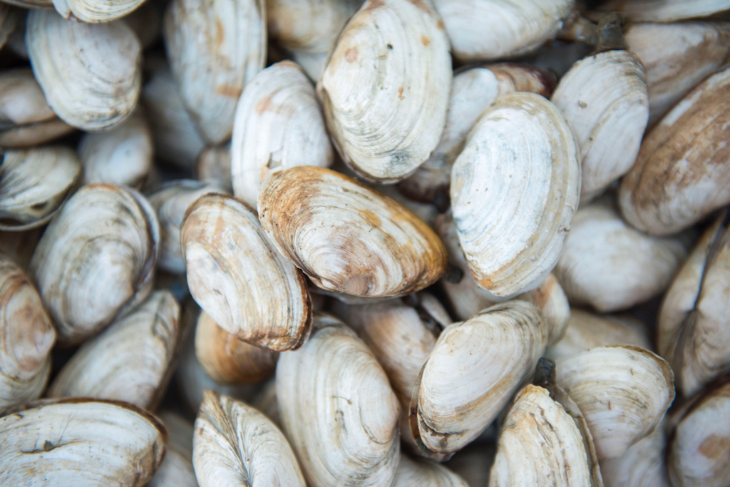 picture of clams
