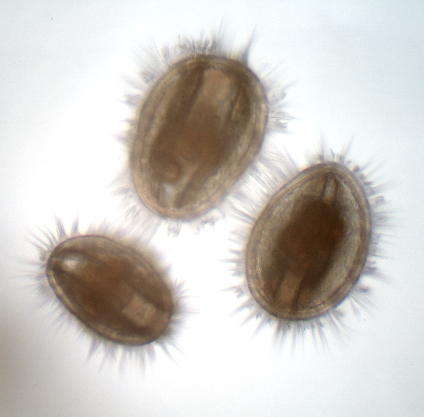 picture of oyster larvae