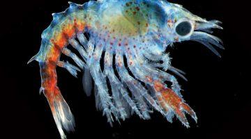 Waller photo of lobster larvae