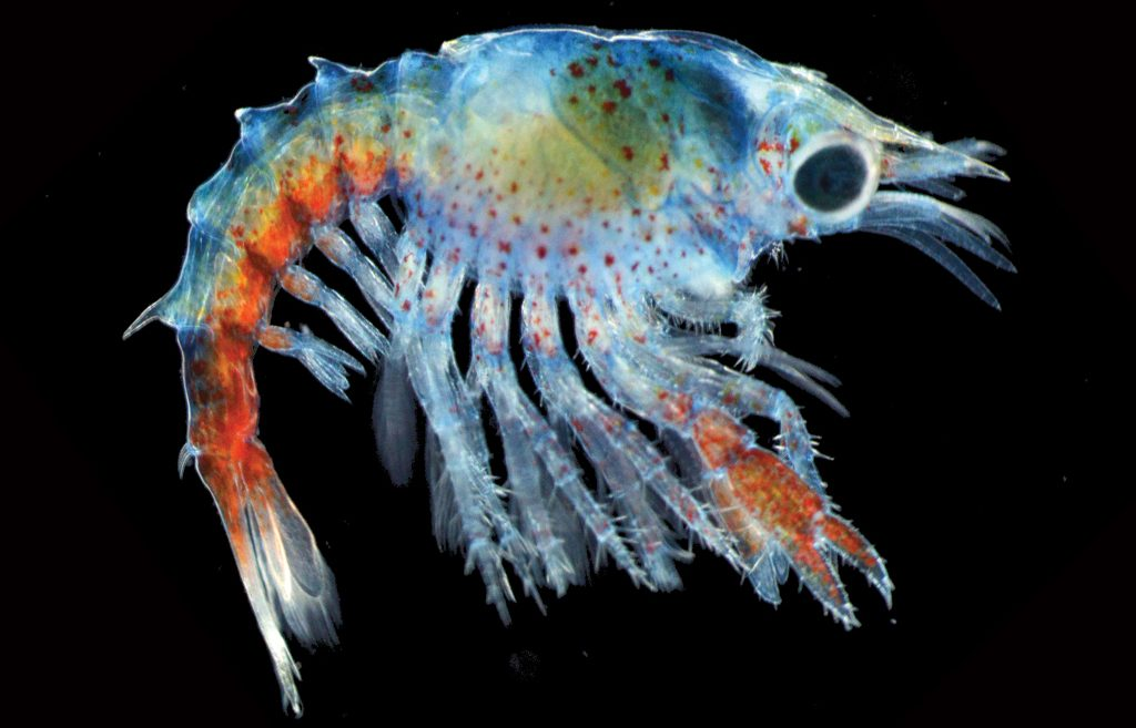 Waller photo of lobster larvae