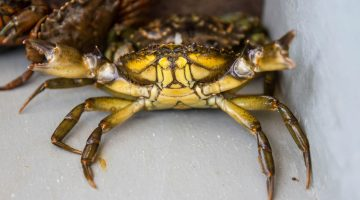 picture of a green crab
