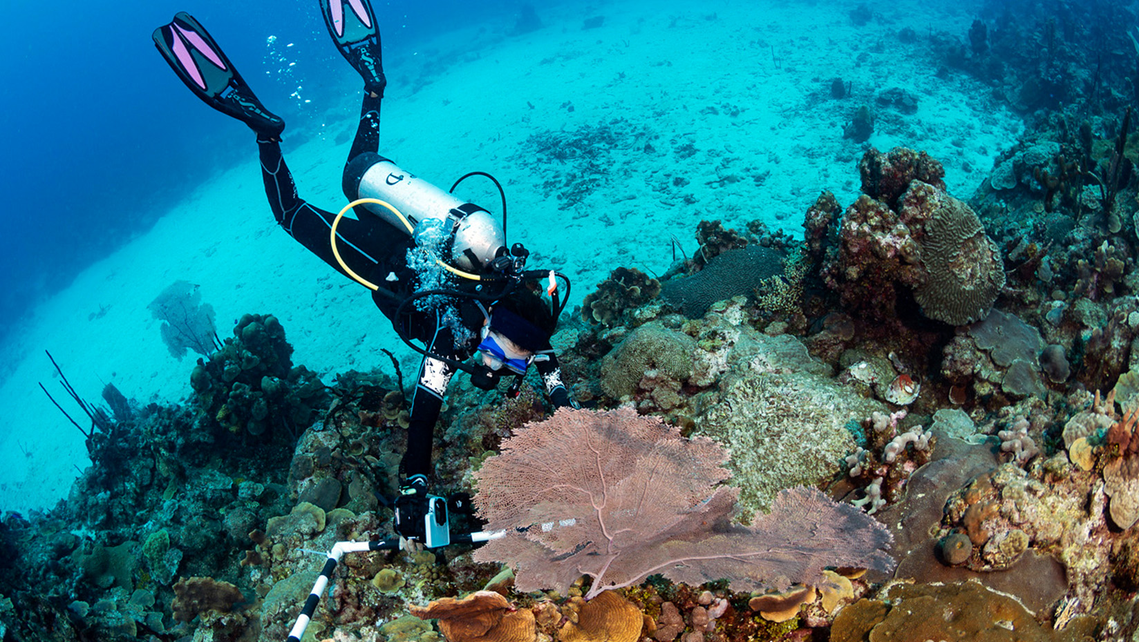 picture of dierve on coral reef