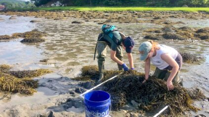 Two college students in the intertidal zone looking at rock weed with a quadrat